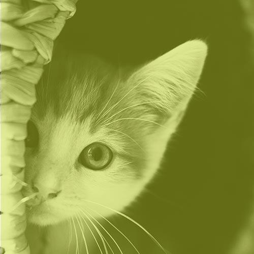 cat-ear-application-for-cbd