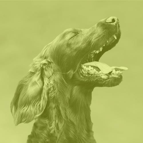 dog-oral-application-of-cbd